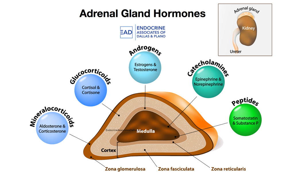 The adrenal cortex produces steroid hormones called depo medrol is a steroid