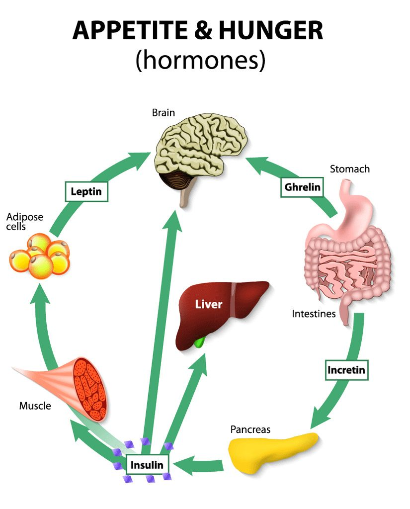 Appetite Obesity and Endocrine Hormones - Endocrine Associates of Dallas & Plano