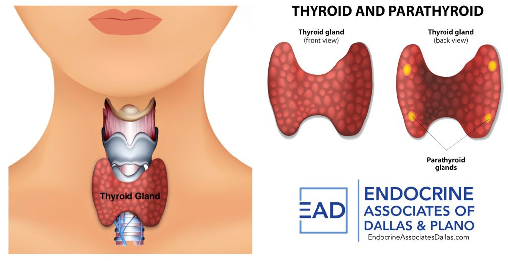 Thyroid disease affects thyroid gland funtion