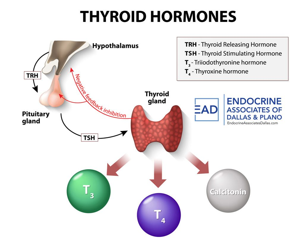 Thyroid Hormones regulate metabolic processes in the body.